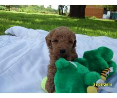 Toy French Poodle (Toy Poodle) puppies for sa...