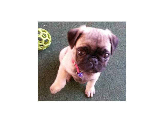 Pure breed pug puppies for sale Delmas - PUPPIES FOR SALE