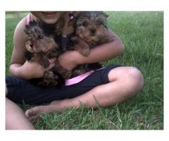 Yorkies (Yorkshire Terriers)puppies for sale,...