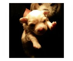 Maltese Poodle (miniature/shortlegged) puppie...