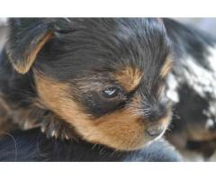 3 x Black and tan Yorkshire terrier female pu...
