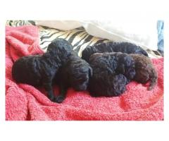 Toy Poodles puppies for sale.  KUSA registere...