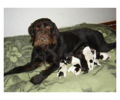Wirehaired Pointing Griffon puppies for sale,...