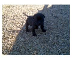 Pure breed staffy puppy for sale, only 1 male...