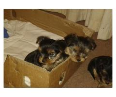 Two Yorkie pups for sale, one male and one fe...