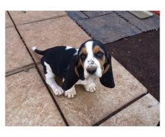 KUSA registered Basset Hound puppies for sale...