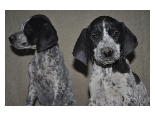 German Shorthaired Pointer Puppies For Sale Heidelberg