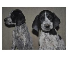 6 black and white German Shorthaired Pointers...