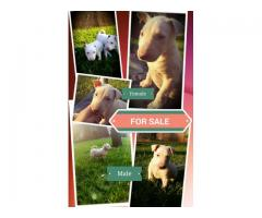 Pure Bred Bull Terrier Puppies for sale (1x M...