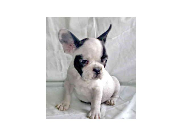 affordable french bulldog french bulldog puppies for sale at affordable prices 5064