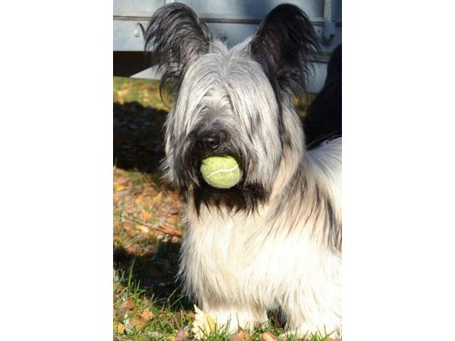 skye terrier for sale skye terriers puppies for sale sandton puppies for sale 1535
